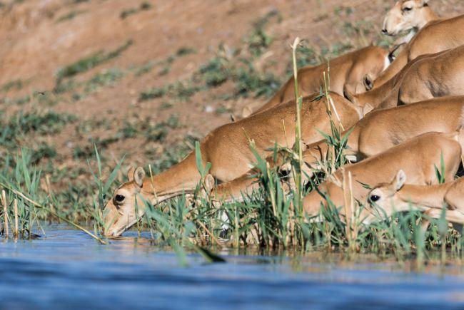 Всемирный фонд дикой природы подсчитал сайгаков с помощью беспилотников «Калашникова»